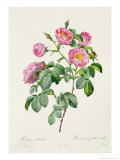 Rosa Mollissima, from Les Roses by Claude Antoine Thory Giclee Print by Pierre-Joseph Redouté