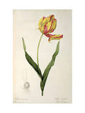 Tulipa Gesneriana Dracontia, from Les Liliacees, 1816 Giclee Print by Pierre-Joseph Redouté
