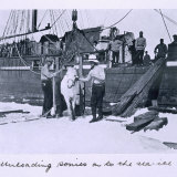 The Crew Unloading Ponies Onto the Sea-Ice, from Scott's Last Expedition Photographic Print by Herbert Ponting