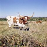 Texas Longhorn Breed Photographic Print
