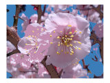 Japanese Cherry Blossom Art by Yuki Hearn