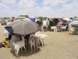 Somaliland Women with Their Goats Protect Themselves from Hot Sun with Umbrellas Photographic Print by Sayyid Azim