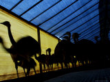 Ostriches Walk on a Shed at a Farm in Florencio Varela Photographic Print