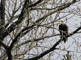 A Bald Eagle Takes a Break in a Tree Overlooking the Pentagon 写真プリント