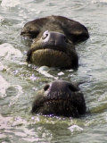 Buffaloes Take an Afternoon Bath in Amritsar, India Photographic Print