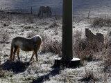 Pferde Im Winterfell Grasen Auf Einer Raureifueberzogenen Weide Am Titisee Fotografisk tryk af Winfried Rothermel
