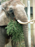 Pretty the Elephant Munches on a Christmas Tree Photographic Print