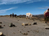 A Bolivian Indigenous Woman Pulls Her Cow Through a Blockade Photographic Print