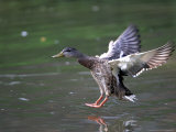 A Female Mallard Comes in for a Landing on the Chagrin River, Ohio, September 7, 2006 Photographic Print by Amy Sancetta