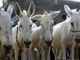 Egyptian Veterinian Ahmed Rostom, Center, Passes by a Line of Donkeys for Sale Photographic Print by Hasan Jamali