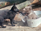 3-Month-Old Brown Bear Olinka, Right, Uses Her Paws to Defend Her Cool Place in the Tub Photographic Print by Fabian Bimmer