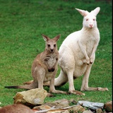 Mulali, Right, a Two-Year-Old Albino Grey Kangeroo Stands Next to Her Joey Photographic Print