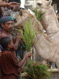 Bangladeshi Children Feed Sacrificial Camel Photographic Print by Pavel Rahman