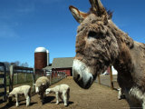 Bonnie the Guardian Donkey Keeps an Eye on Her Flock of Sheep Photographic Print by Victoria Arocho
