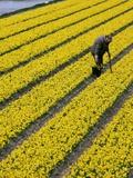 A Farmer Cuts Daffodils - Fotografik Baskı