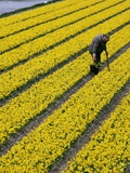 A Farmer Cuts Daffodils Photographic Print
