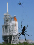 Spiders Hang from Their Web Near the Space Shuttle Atlantis Photographic Print