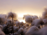 Cotton Grass Stands Tall in the Setting Sun in Kulusuk, Greenland Photographic Print