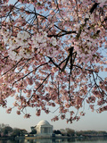 The Blossoms are Almost in Full Bloom on the Cherry Trees Papier Photo