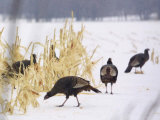 A Flock of Wild Turkey Pick Over a Corn Field in Williston, Vermont, Wednesday, March 5, 2003 Photographic Print by Alden Pellett