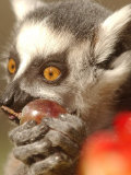 A Lemur Eats a Grape from a Fruit and Vegetable Cake Photographic Print by Natacha Pisarenko