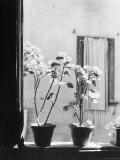 Signor Tito's Geraniums Photographic Print