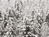 Heavy Snow Hangs on Trees Along Hurricane Ridge Photographic Print by Jeffrey Phelps