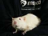Roland, a One-Year-Old Domestic Rat, is Held at the Mspca in Boston Thursday, May 26, 2005 Photographic Print by Elise Amendola