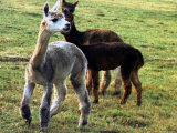 Sheared Alpacas Look Around Their Field August17, 2003, in Sandpoint, Idaho Photographic Print by Jay Cohn