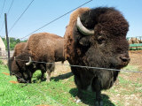 El Duque, Right, a 7-Year-Old Bison Weighing Nearly 2,000 Pounds, Contemplates His Share of Grain Photographic Print by Nancy Palmieri