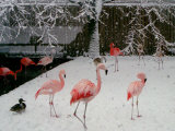 A Flock of Caribbean Flamingos Stand Together Photographic Print