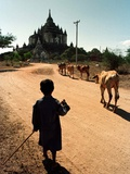 A Young Burmese Boy Tends His Family's Cows Near the Thatbinnyu Temple Photographic Print