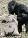 Sukari, an 8-Year-Old Mother Gorilla, Rummages Through a Trick or Treat Bag Photographic Print by John Amis