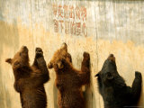 Bears Beg for Food from Visitors Under the Sign Saying in Chinese Take Away Your Food Photographic Print