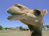 A Camel from Doug Baum's Herd is Shown in Valley Mills, Texas, Thursday, July 13, 2006 Lámina fotográfica por L.m. Otero