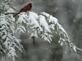 A Male Northern Cardinal Sits on a Pine Branch in Bainbridge Township, Ohio, January 24, 2007 Photographic Print by Amy Sancetta