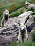 Sled Dogs Watch Over Kulusuk, Greenland Photographic Print