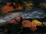 Colorful Maple Leaves Float Along the Shore of Pinchot Lake in Gifford Pinchot State Park Photographic Print by Carolyn Kaster