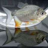 A Pacu, a Popular Tropical Fish Sold at Pet Shops, is Shown, August 7, 2002 in Atlanta Fotografisk tryk