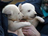 Two 7 Weeks Old Polar Bear Cubs Photographic Print by Frank Hormann