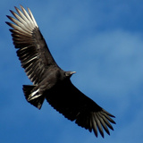 A Black Buzzard Flies Off Photographic Print