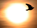 A Pigeon Flies at Sunrise Near the Bulgarian Black Sea Town of Varna Photographic Print