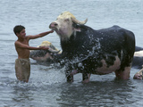 An Iraqi Boy Washes a Water Buffalo Photographic Print