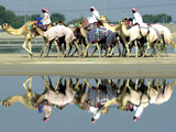A Caravan of Racing Camels Return from a Morning Training Session Photographic Print