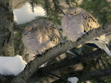 Two Mourning Doves Fluff up Their Feathers to Stay Warm Photographic Print