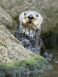 A Sea Otter Looks out from Behind a Rock Photographic Print
