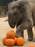 Kandula, a Two-Year-Old Male Asian Elephant, Prepares to Stomp on Pumpkins at the National Zoo Photographic Print