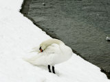 A Swan Cleans its Plumage on a Snow Covered Embankment Photographic Print