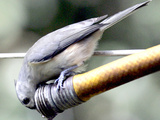 A Thirsty Tufted Titmouse Takes Advantage of a Dripping Garden Hose for an Afternoon Drink Photographie
