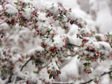 Snow Covers Buds on a Tree Branch in Denver Photographic Print